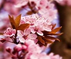 Dự báo thời gian hoa anh đào nở ở Hàn Quốc  năm 2018