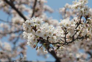 Mua hoa anh đào Nhật Bản
